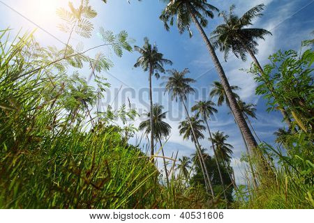 Tall palm trees green grass and blue cloudy sky with sun