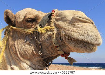 Dromedary Camel in desert beside Red Sea