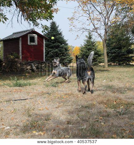 Blue Heeler Dogs Playing Ball