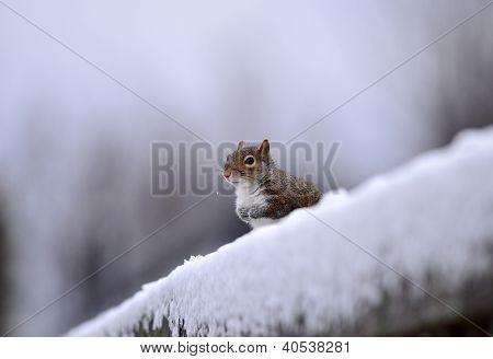 Esquilo cinzento em cerca de