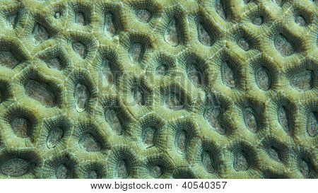 Closeup of green coral