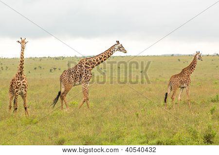 Giraffe Family In Kenya