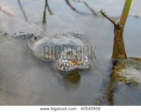 European fired-bellied toad