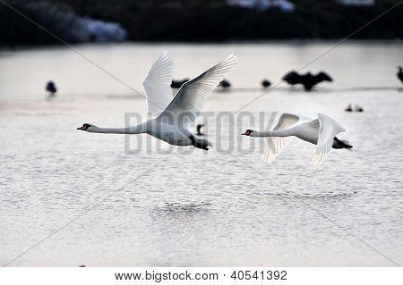 Cisnes em voo