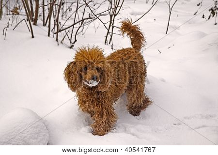 Winter. Walking Red Miniature Poodle