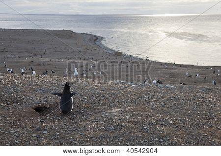 Magellanic Penguin Gazing At The Panorama