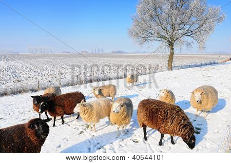 Sheep in snowy winter landscape in Holland