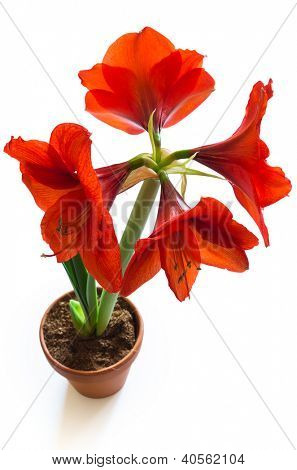 shot of red amaryllis flower isolated