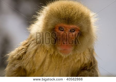 Portrait Of A Snow Monkey