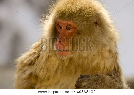Portrait Of A Snow Monkey