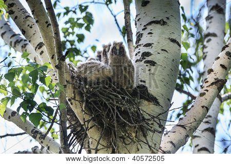 Asio Otus, Long-eared Owl.