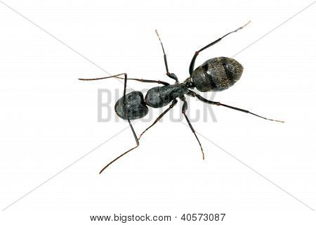 Closeup Of Ants
