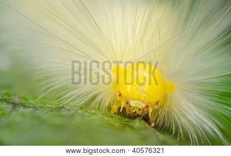 Butterfly Larva