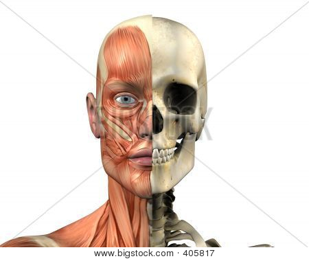 Human Anatomy - Muscles And Skull