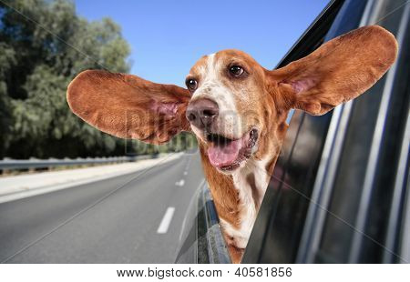 a basset hound in a car