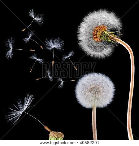 Dandelions on the black background