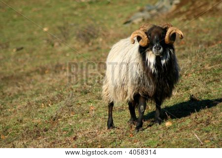 Lonely Ram