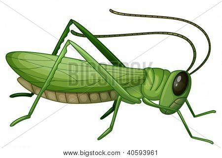 Illustration of a grasshopper on a white background