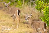 stock photo of bambi  - Endangered and rare Key deer fawn in woods in Big Pine Key on Florida Keys