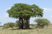 picture of baobab  - african landscape with old Baobab tree in Tanzania - JPG