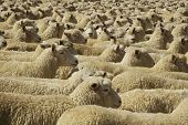 image of mustering  - Penned up Flock of Sheep in New Zealand - JPG