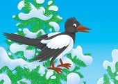 stock photo of chatterbox  - magpie perched on a snow - JPG