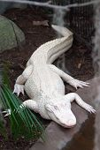 image of alligator  - albino alligator  relaxing on Alligator Farm in north carolina zoo