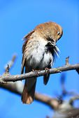 foto of nightingale  - Luscinia luscinia - JPG