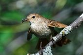 picture of nightingale  - Luscinia luscinia - JPG