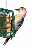 picture of woodpecker  - Male Red - JPG