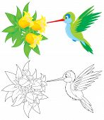image of colibri  - humming - JPG