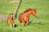 stock photo of foal  - An American Quarter Horse mare with her 2011 foal  on a spring evening in Marietta - JPG