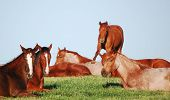 stock photo of fillies  - A herd of American Quarter Horse yearling fillies napping on a spring morning at the Polo Ranch in Marietta  - JPG
