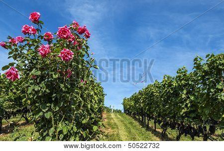 Rose Bush in the Vineyard