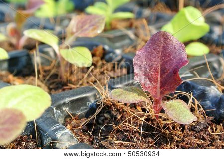 Red Coral Baby Vegetable For Salad