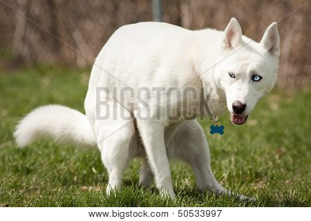Husky With Pooping In A Dog Park
