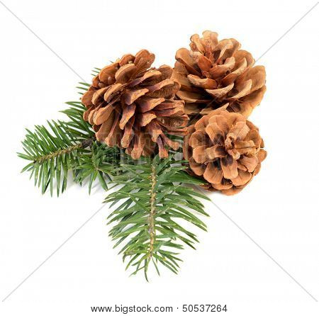 Pine cones with branch on a white background