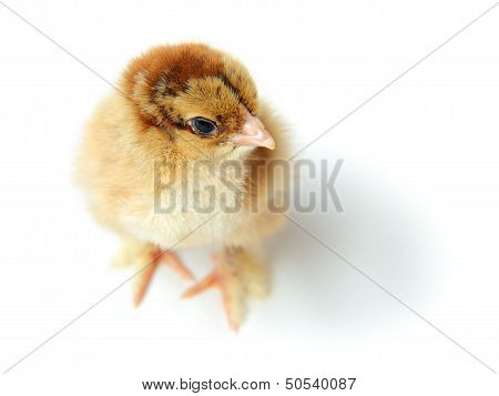 Chick Top View