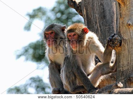 Two Japanese Macaques Clinging To A Tree Branch