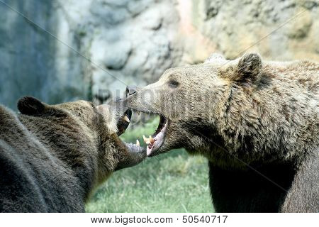 Two Ferocious Bears Struggle With Mighty Bites And Blows The Mouth Open