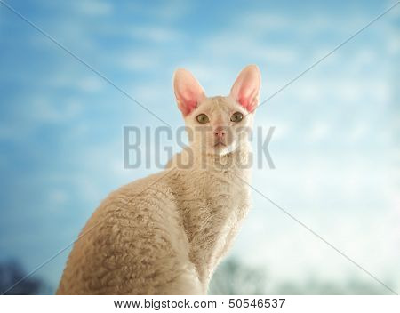 Cornish Rex Cat Looking Straight