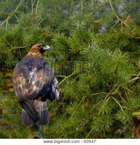 Golden Eagle 1