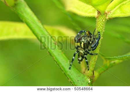 jumping spider hunting prey