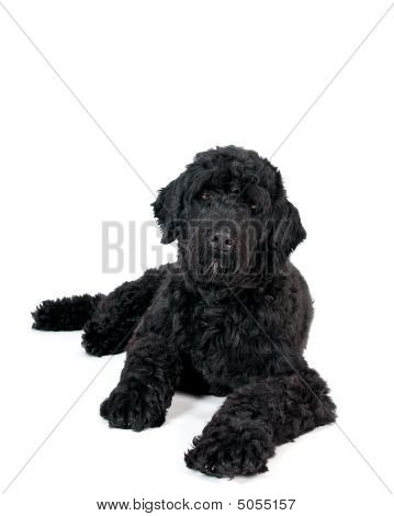 Black Dog Portrait