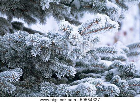 Young Furtree At Winter