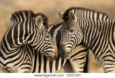 Zebras Kiss