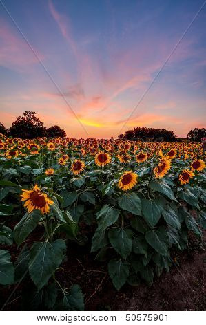 Colorful Sunflowers At Sunset