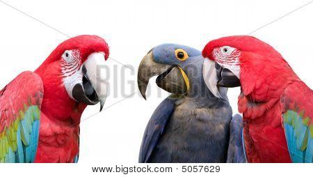 Reunião de papagaio