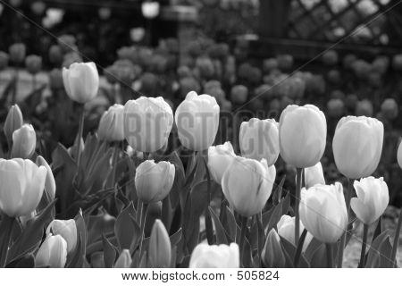 Tulips B/w