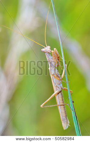 Mantis religiosa shoot in forest